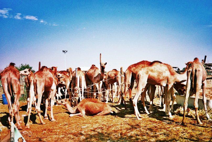 Mercado de camellos (al-Ain, Emiratos Árabes Unidos)