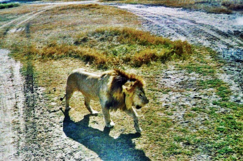 Leones en Serengeti (Región de Simiyu, Tanzania)