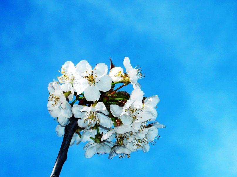 Fiesta del Cerezo en Flor (Extremadura)