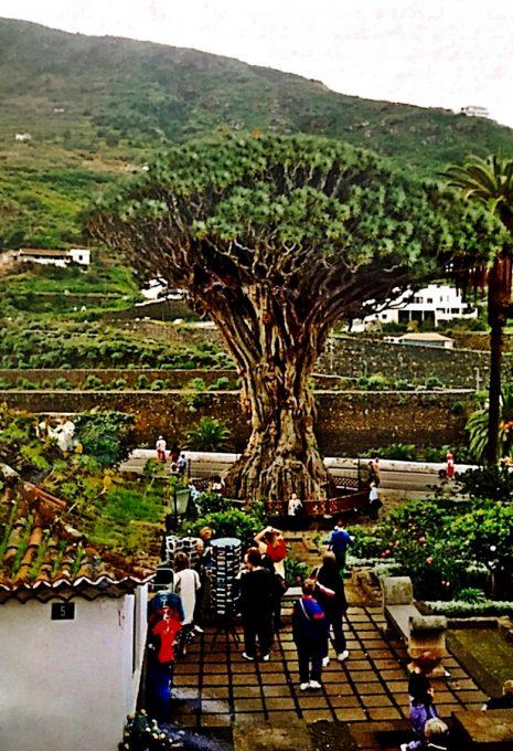 Drago Milenario (Icod de los Vinos, Canarias)
