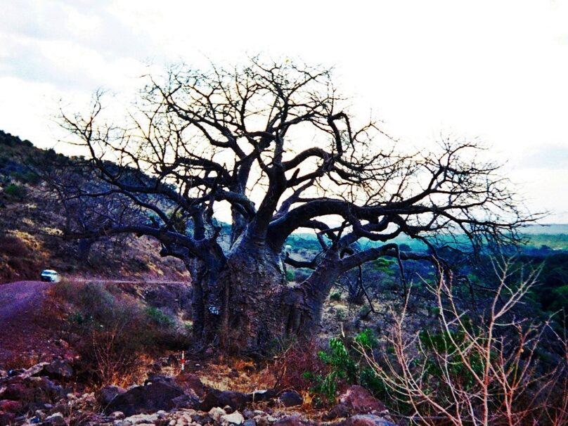 Baobab de Manyara (Región de Arusha, Tanzania)